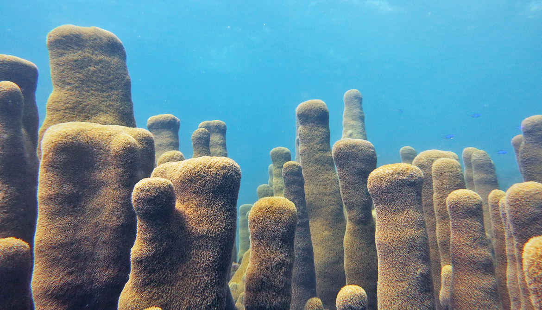 Caribbean Pillar Coral Dendrogyra cylindrus