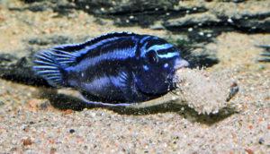 cichlid Melanochromis Cyaneorhabdos c01.jpg More details Melanochromis Cyaneorhabdos