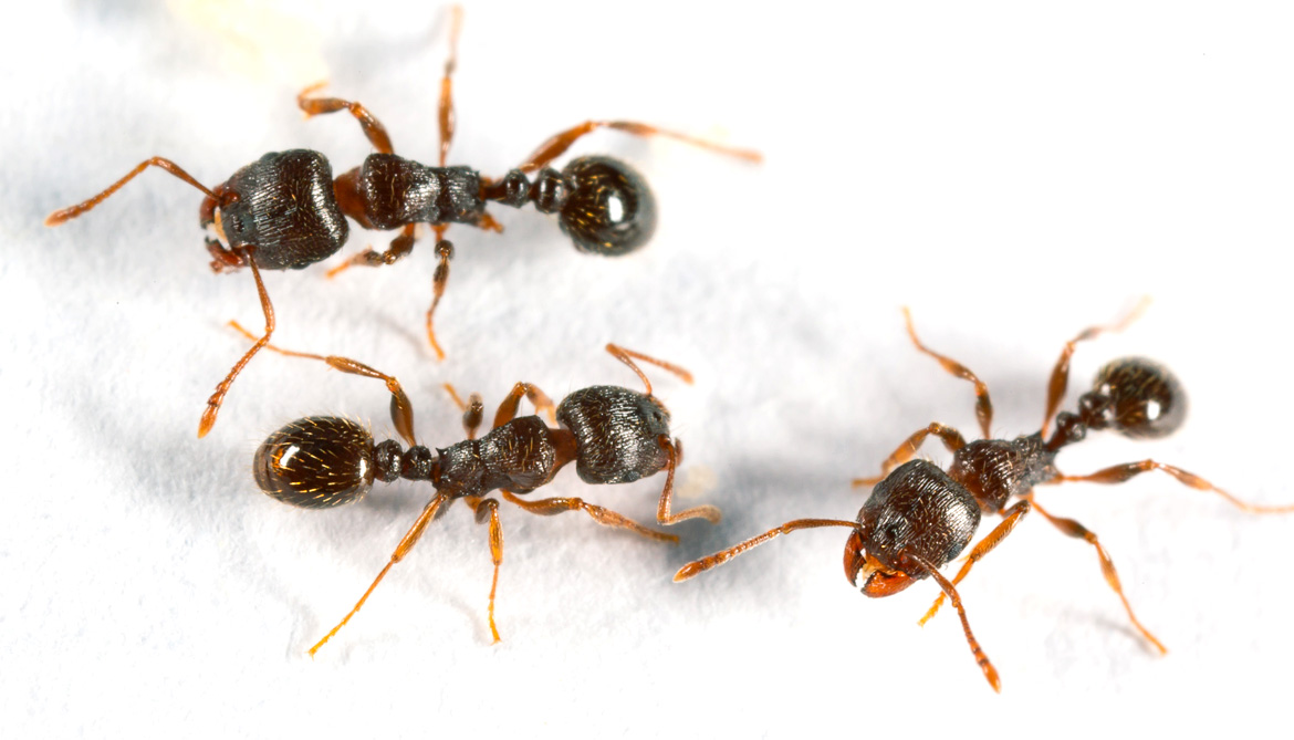 Ants tumble but keep marching in microgravity