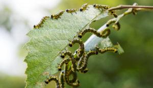 caterpillars eat a leaf