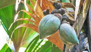 coco-de-mer fruit on tree