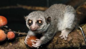 elderly lemur eats fruit