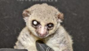 really elderly lemur face