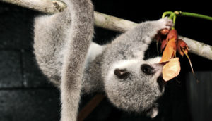 lemur eats flower