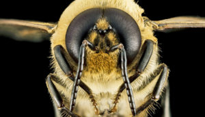 honey bee drone face