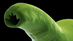 hookworm image in green