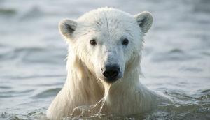 wet polar bear
