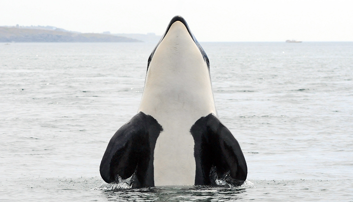 Why whales (and women) live long after menopause