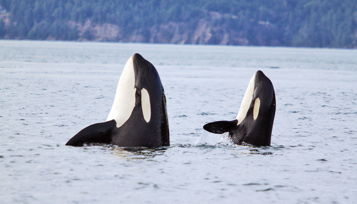 two killer whales