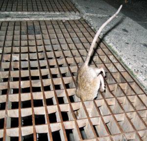 rat in grate