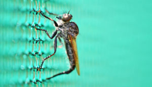 gray robber fly