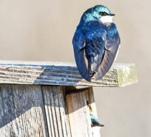 tree swallows at nest box