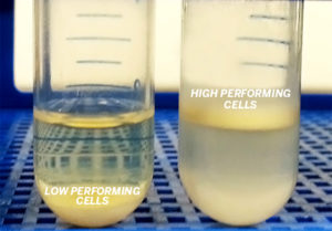 yeast cells in tubes