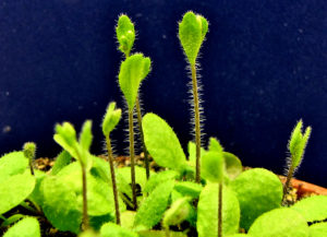 arabidopsis thaliana plants about to bloom