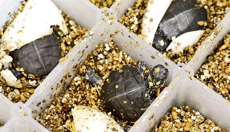 painted turtles hatching