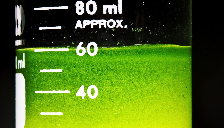 Why biofuel algae should 'eat' wastewater