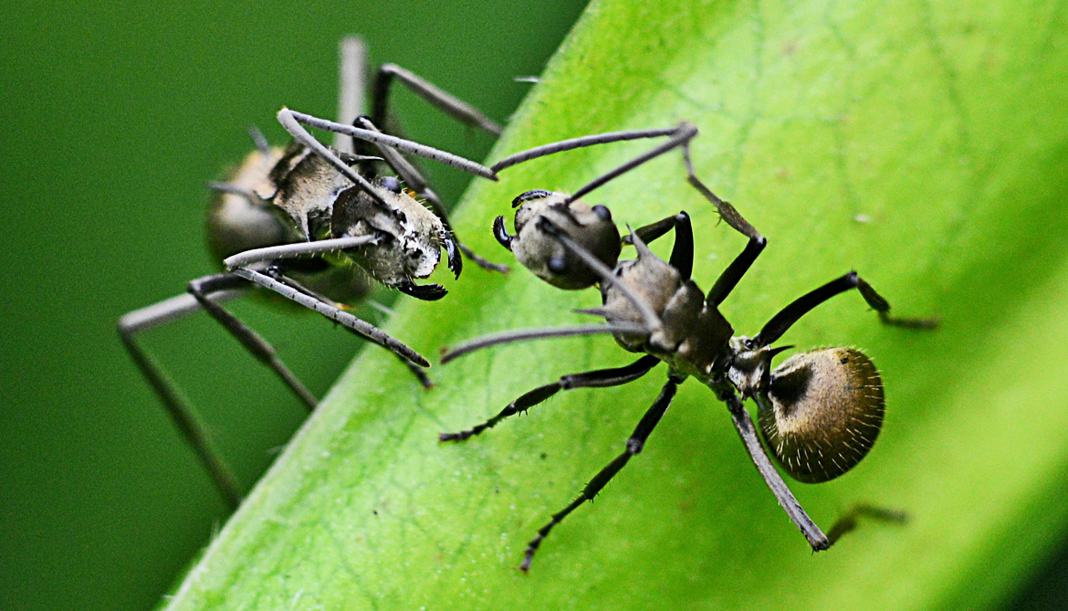 Ants divide knowledge to protect the 'network'