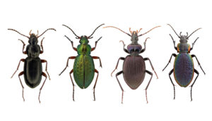 Arctic beetles