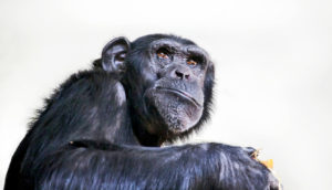 chimpanzee on white - chimps