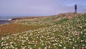 European beachgrass on dunes