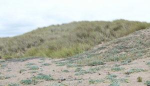 beachgrass and Tidestrom's lupine