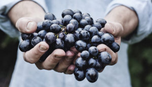 hands hold grapes