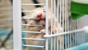 hamster chews on cage bar