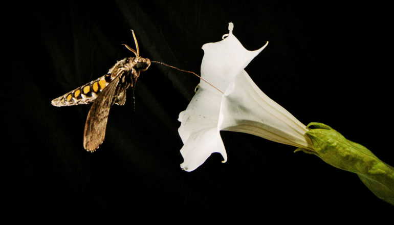 hawk moth drinks from flower