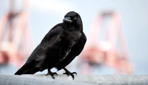 American crow in Seattle