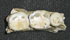 ancient human teeth