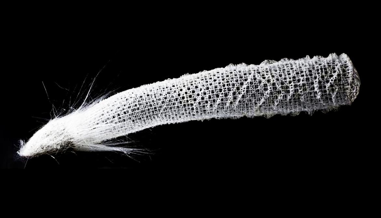 Euplectella aspergillus