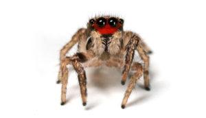 Habronattus jumping spider
