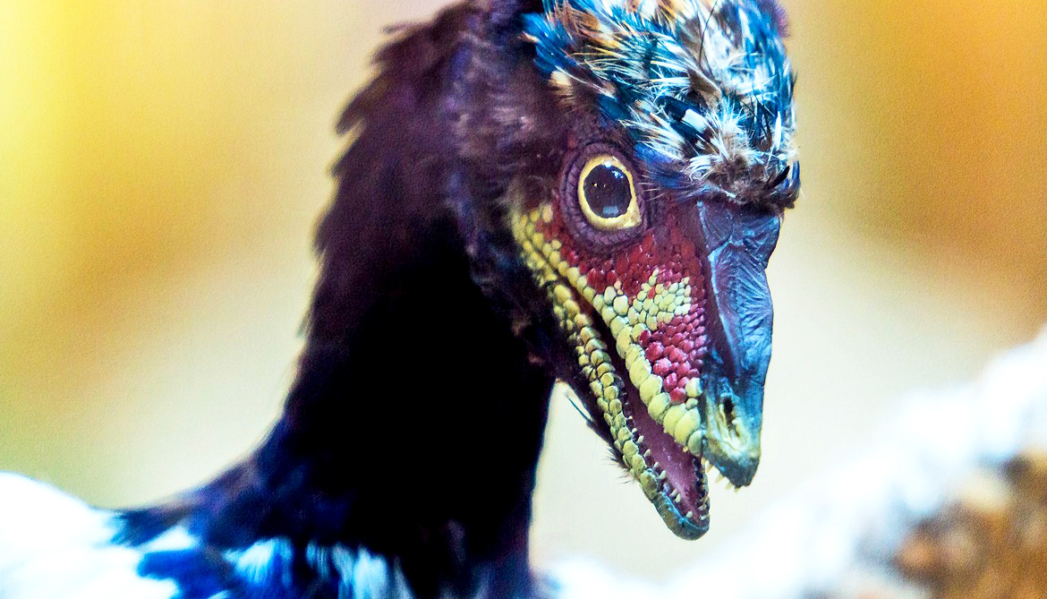 Why scientists put dinosaur snouts on chickens