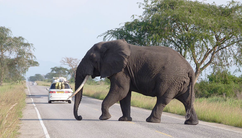 elephant crosses a road