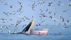 Bryde's whale feeding