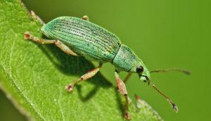 green weevil on leaf