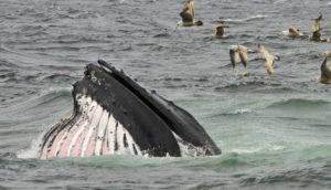 humpback whale feeding