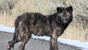 wolf pup with mange