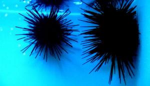 sea urchins on blue