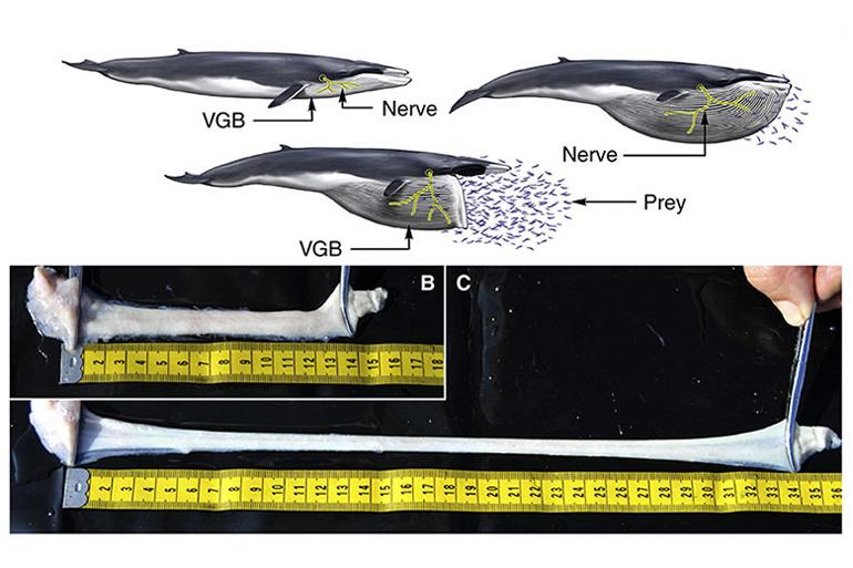 whale nerves diagram
