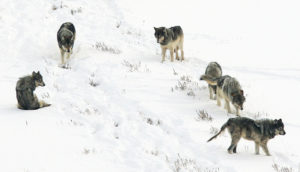 wolves in pack