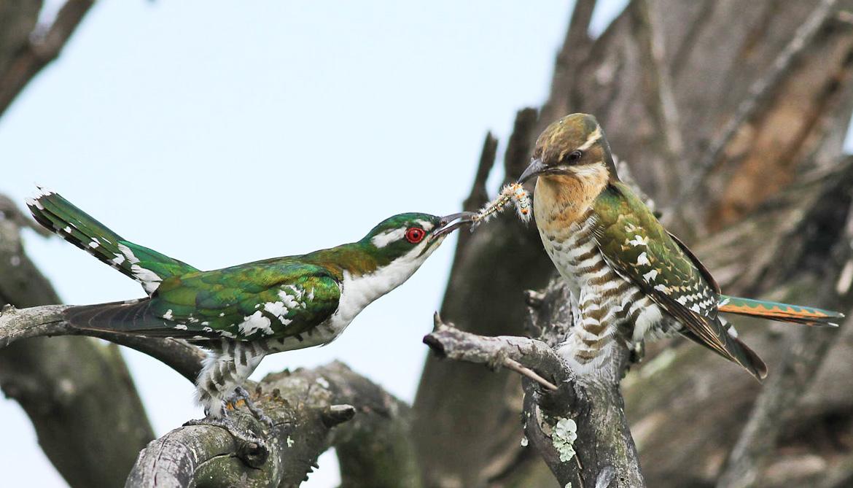 Diederik cuckoos