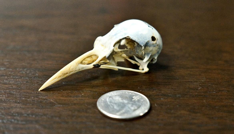 grackle skull