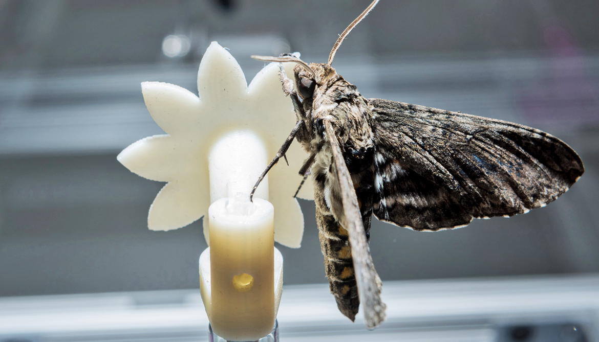 Hawkmoths slow their brains to see in the dark