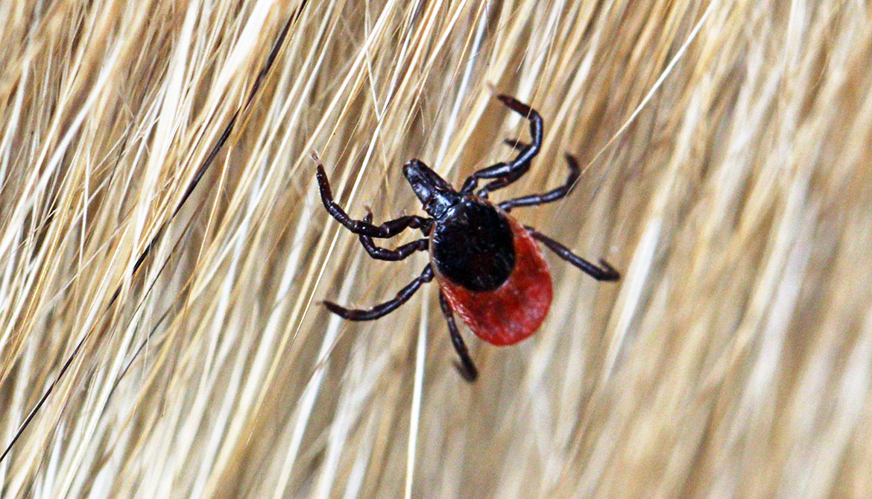 Ticks move across town to spread Lyme disease