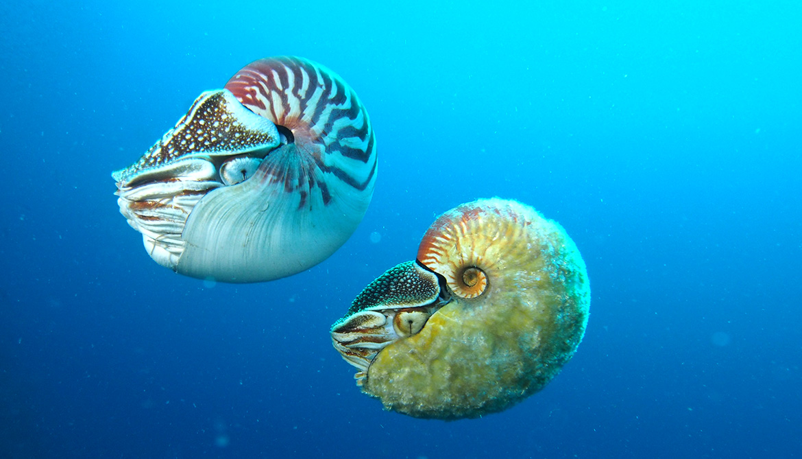 Rare nautilus seen for first time in 30 years
