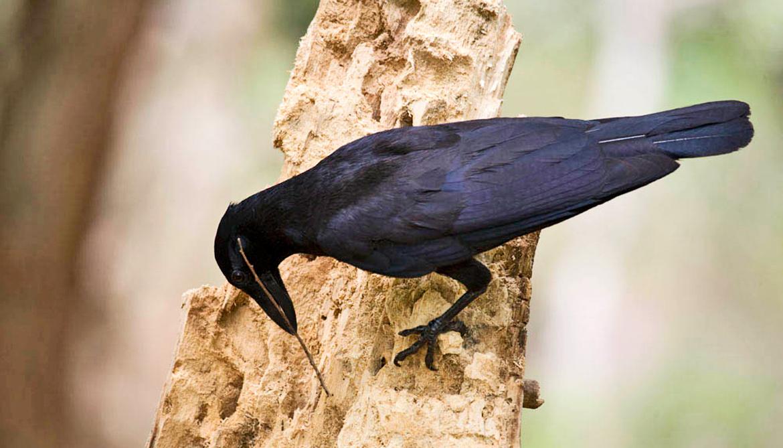 crow uses twig