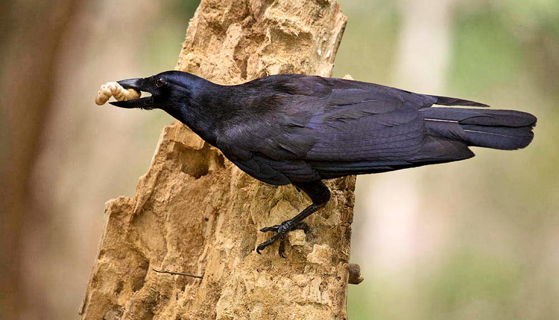 crow gets grub