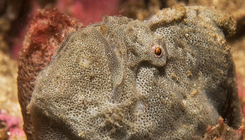 Porophryne erythrodactylus