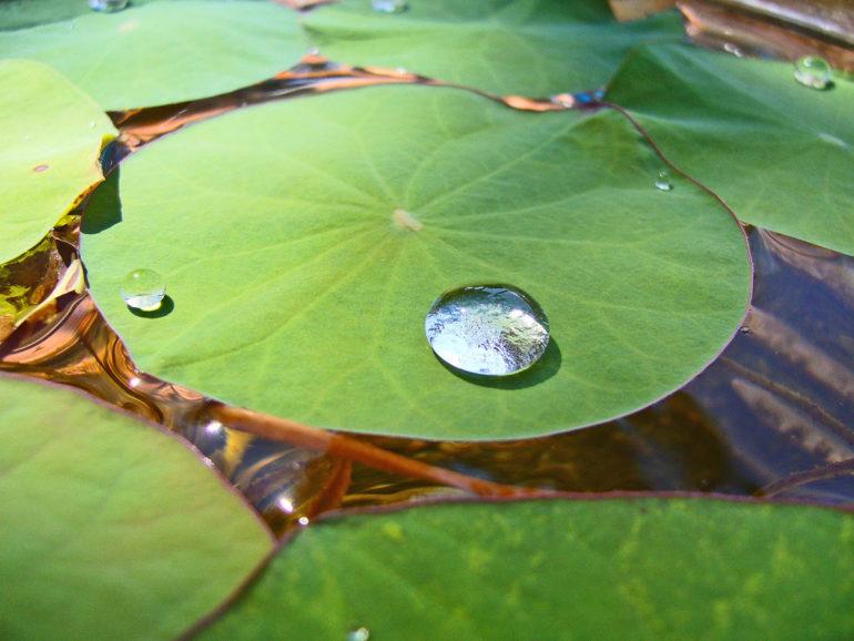 droplet on lotus leaf
